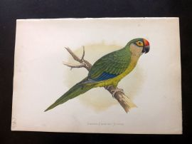 Greene Parrots in Captivity 1887 Hand Col Bird Print. Golden-Crowned Conure